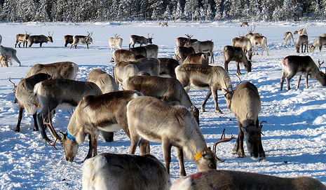 Reindeer herd closes Norway highway