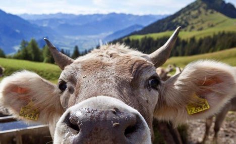 Cow injures two in escape from abattoir