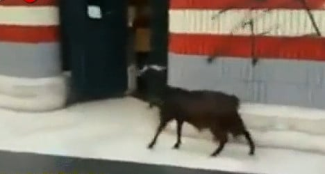 VIDEO: Goat wanders into Rome metro station