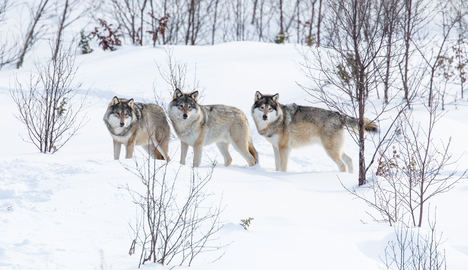 Two men jailed for illegal wolf hunt