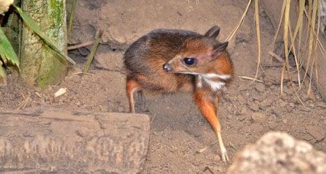Hamster-sized deer born at Spanish zoo