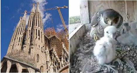 Sagrada Família falcons welcome new chicks