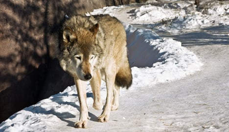 Police free Norwegians jailed for wolf hunt