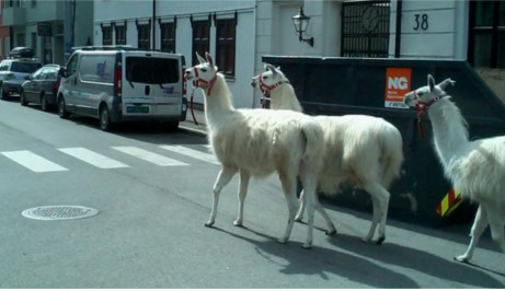 Llamas on the loose in central Oslo