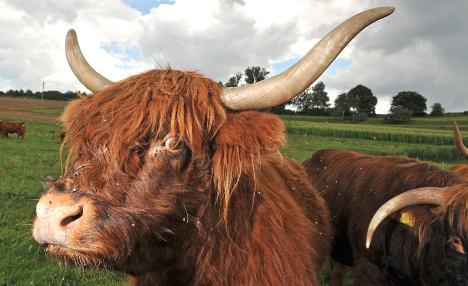 Bull bolts from abattoir, runs into butcher's shop