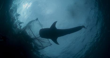 Spanish 'wall of death' killing UK sharks
