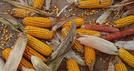 France definitively bans GM corn