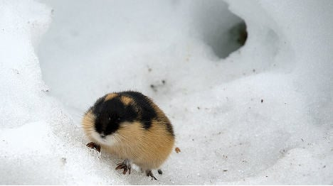 Norway faces lemming explosion: Scientist