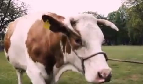 VIDEO: Politicians turn to cow to get out the vote
