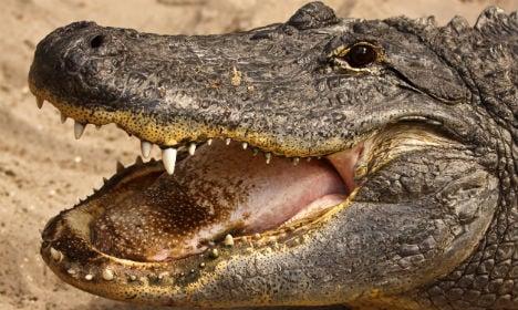 Swedish cops clear freezer to house alligator