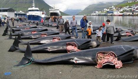 Sea Shepherd battles to stop Faroese 'grind'