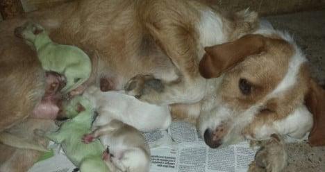 Green puppies shock Spanish dog breeders