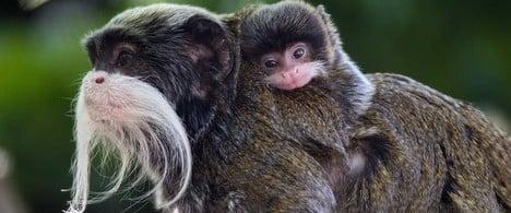 Baby Tamarin in Schönbrunn Zoo