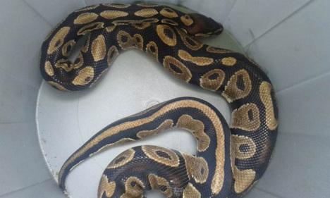 Python found in rubbish bin