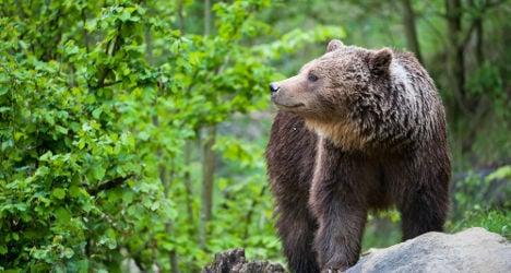 Spain's 'oversexed' bear faces castration