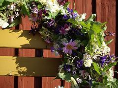 Wintry chill grips Swedish Midsummer