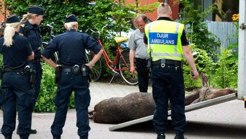 Curious elk breaks into house in Sweden
