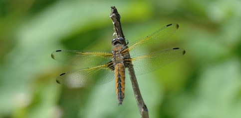 'Extinct' dragonfly alive and well in Skåne