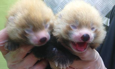 Pandas Plopp and Polly born in Swedish zoo