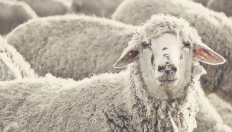 Two hurt after bikers ram sheep