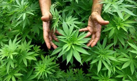 Police find cannabis growing on motorway
