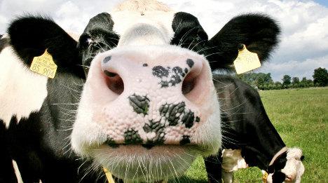 Cows kill German dog walker in Austria