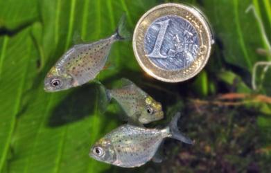 Rare piranha spawn in Vienna aquarium