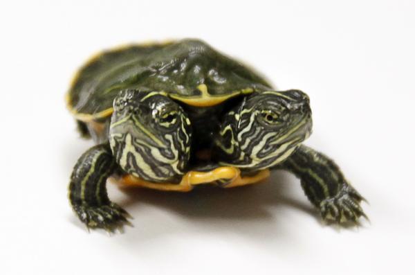 Two-headed tortoise born in Styria