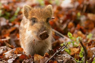 Vienna teenager strangles wild boar piglet