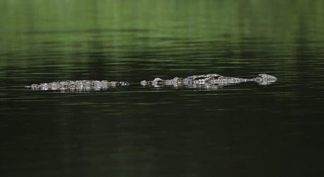 Crocodile alarm stops Danube boat race