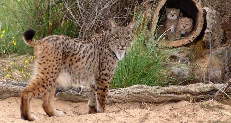 Road kill: Spain's wild cats face rising death toll