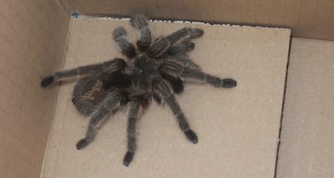 Tarantula captured in Schwanenstadt