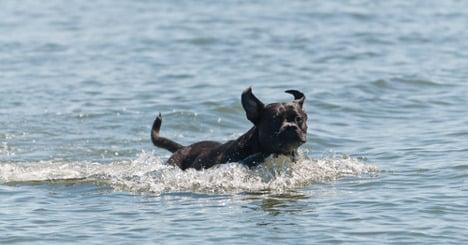 Hero dog dies after saving drowning boy