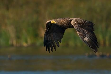 Denmark's white-tailed eagles are soaring back