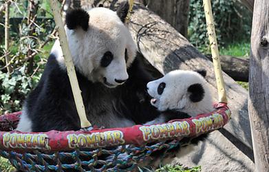 Schönbrunn's panda baby celebrates birthday