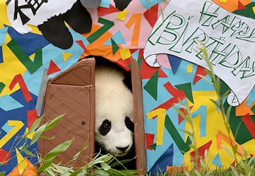 Vienna zoo's baby panda celebrates first birthday