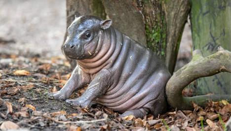 Baby hippopotamus born in central Sweden zoo