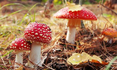 Poisonous mushrooms cause stir in Sweden