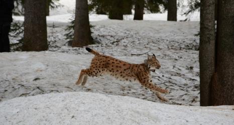 Austria's 'last lynx' missing: believed shot