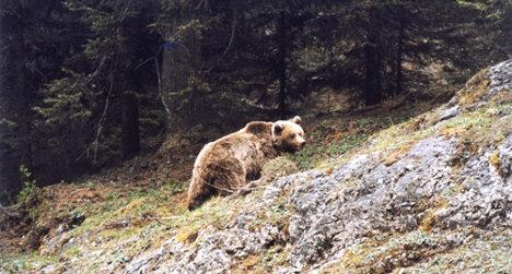 Runaway bear Daniza dies during capture