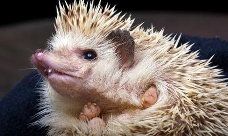Hedgehog pet craze sweeps Sweden