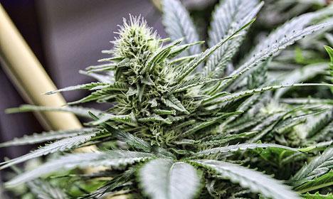 Denmark funds medicinal cannabis research