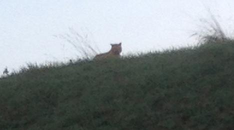 Search resumes for escaped 'tiger' near Paris
