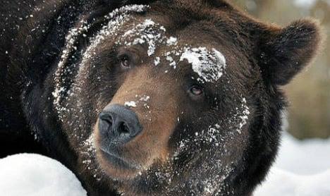 Swedish elk hunter attacked by bear