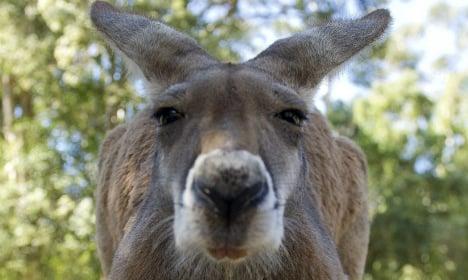NRW police capture rogue kangaroo