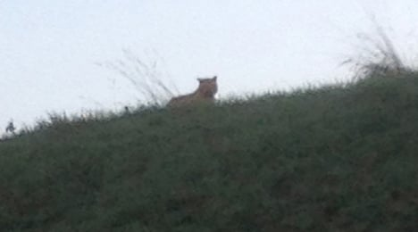 Big cat on the loose is 'not a tiger': authorities