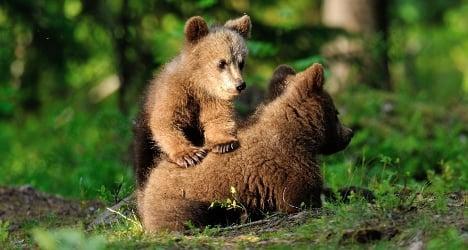 Wild bears spark fear in Italy's north