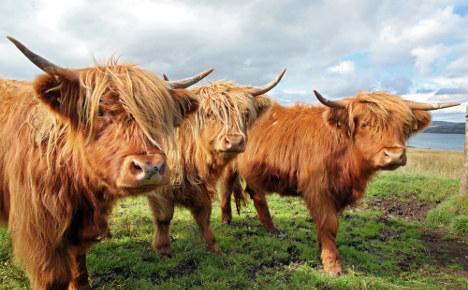 'Horrific' scene as rampaging cows shot