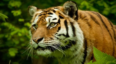 Escaped 'tiger' on the loose near Paris