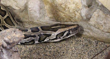 Giant smuggled python outgrows Swiss home